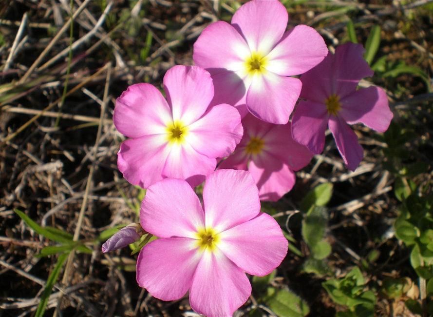 15 incredible texas wildflowers you should know goldeneye phlox mightylinksfo