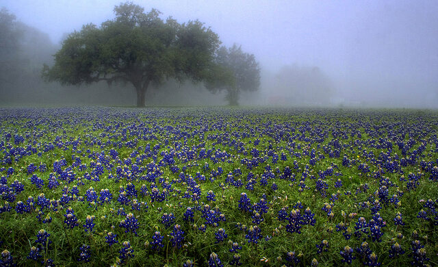 Bluebonnets in the fog
