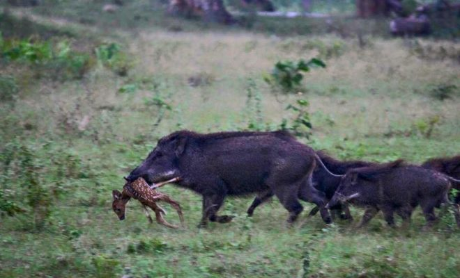 wild hog map with Practicality Hunting Hogs Hot Air Balloon on BrownCreeperWinterMap moreover Royalty Free Stock Photo Warthog Running Hog Image26848495 further Stock Photos Porcupine Image2894713 additionally Hedgehogs moreover File Canis lupus dingo  Fraser Island.