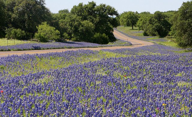 How to Plant Your Own Field of Texas Bluebonnets