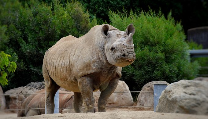 Grand Opening Date for San Antonio Zoo's New Rhino Exhibit