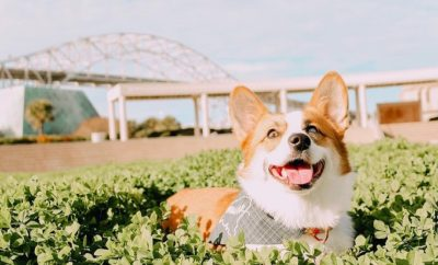 Corpus Christi Corgi Convention: Here's What to Look FURward To