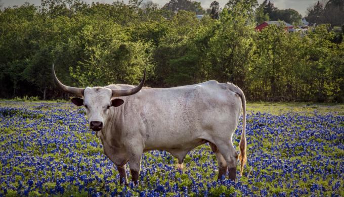 Did You Know Texas has an Official Bluebonnet Song?