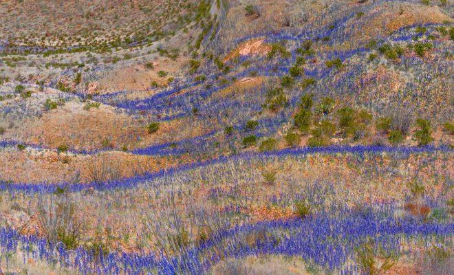 Bluebonnet Alert! Big Bend Experiencing Largest Bloom in Decades