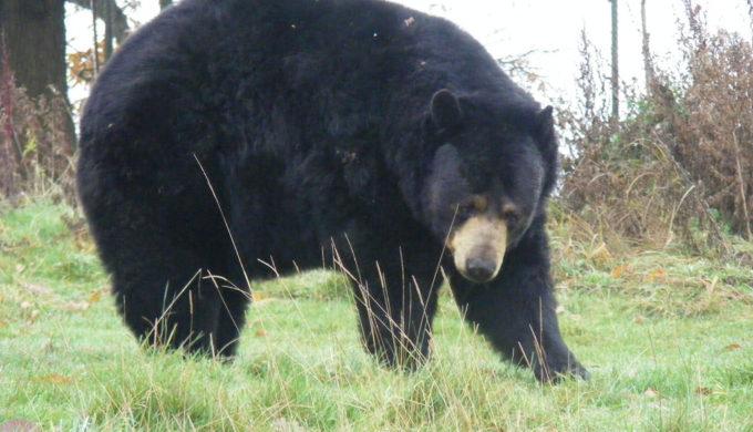 Black bears in Texas