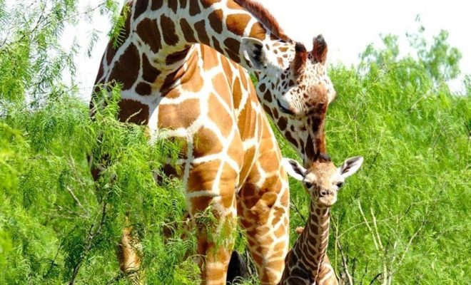 Video: See a Baby Giraffe Birth in the Texas Hill Country