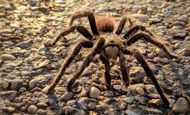 Texas Brown Tarantula Mating Season Happens in 5, 4, 3…