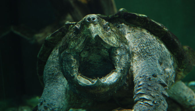 Alligator Snapping Turtle in Texas Gets Freed by Jaws of Life
