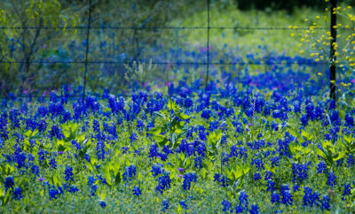 Take a Trip Through the Texas Bluebonnets This Spring