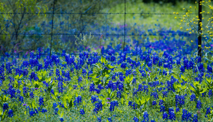 Take a Trip Through the Texas Bluebonnets This Spring