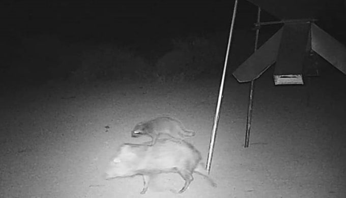 A Raccoon Rode In On a Javelina – And That's No Joke!