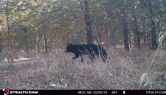 Black Coyote Captured on Camera in the Texas Hill Country