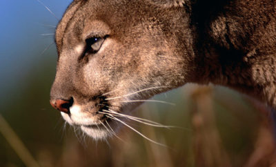 Bold & Brazen Mountain Lion Takes Family Pet From the Side of a Sleeping Child