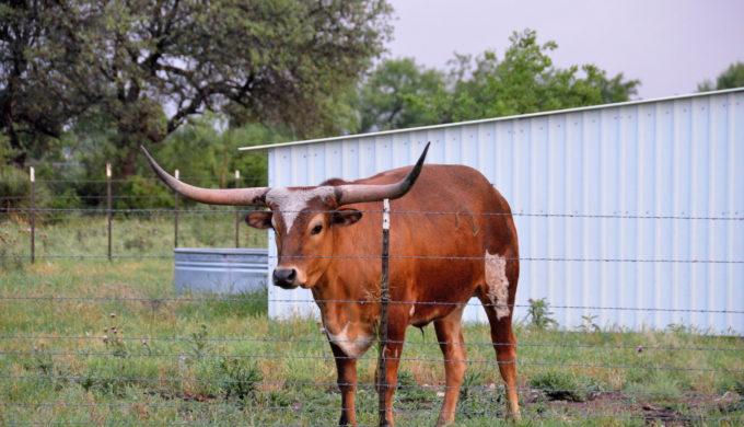 Doss Texas Longhorn