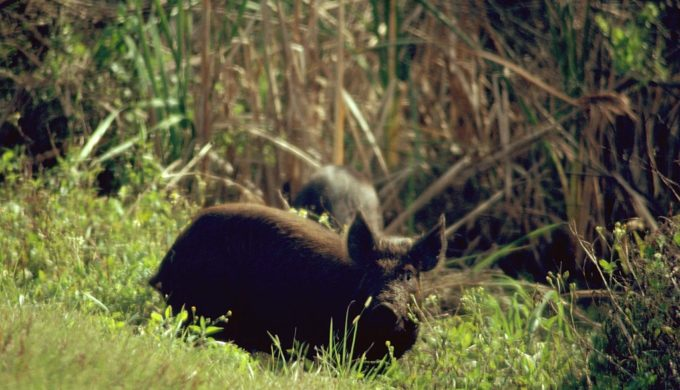 New Bill Allows Killing of Feral Hogs Without a License