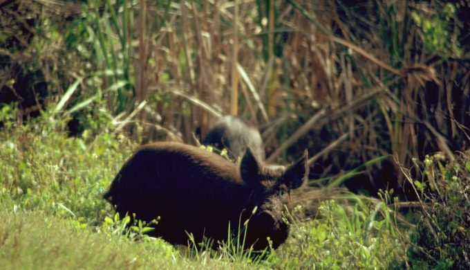 Guadalupe County Initiates Planning for Feral Hog Bounty Program