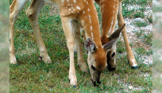 A Hill Country Safety Hazard – Deer Overpopulation