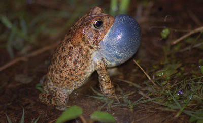 A Male Houston Toad, Austin County, Texas