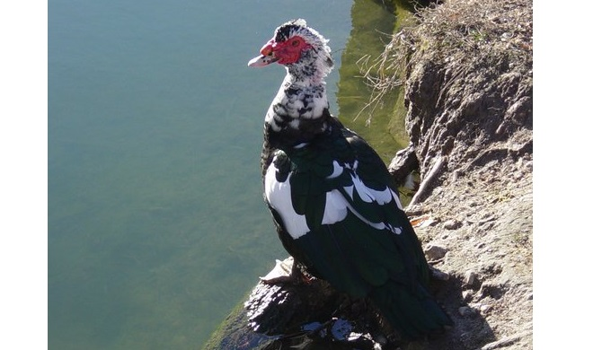 A muscovy duck is one of the many Cibolo Creek ducks
