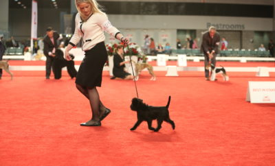 """Keko"" Wins Toy Group at Inaugral AKC Royal Canin National All-Breed Puppy And Junior Stakes"