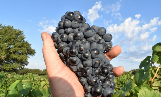 Creating a Masterpiece: A Wine Harvest at Ab Astris Vineyards