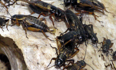 North Texas Under Invasion by Massive Swarm of Crickets