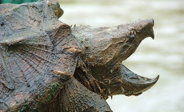 Alligator Snapping Turtles Have Powerful Jaws That Can Cause Serious Harm to Humans