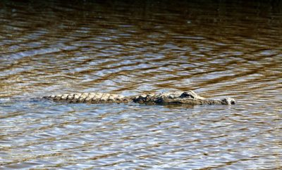 Alligator in the National Wildlife Preserve in Anahuac