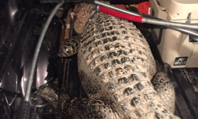 AlligatorFI