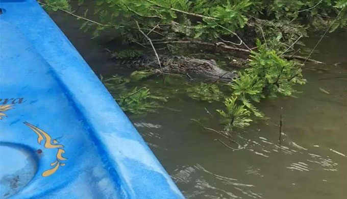 Alligator Spotted By A Kayaker In The Guadalupe River