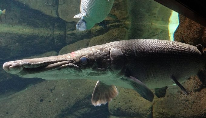Massive 198-Pound Alligator Gar Caught by Anglers on the Brazos River