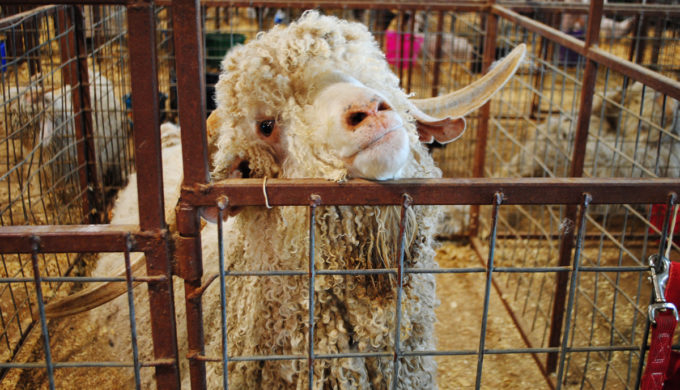 Angora_goat,_Gillespie_County_Fair