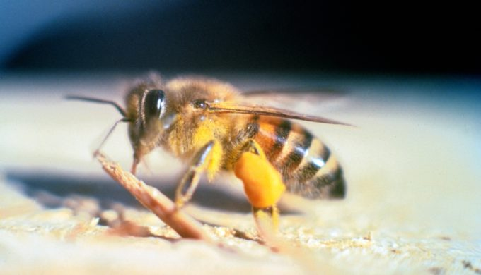 The World's Largest Killer Bee Can be Found in This Texas Town