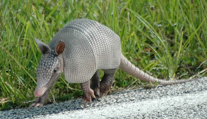 Armadillos also live in Florida like this one found at Kennedy Space Center