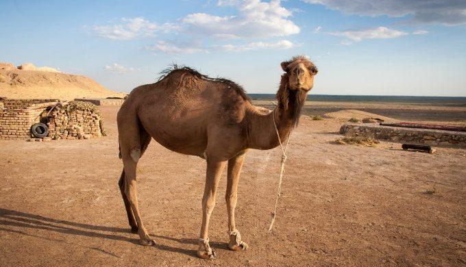 Baby camel in desert
