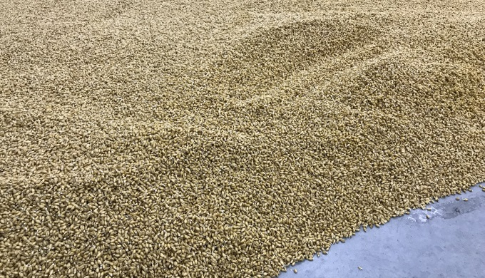 Blacklands Malting barley in process