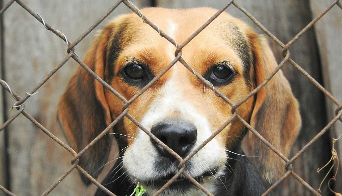 Beagle in kennel