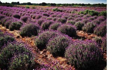 Becker Vineyards Lavender Farms