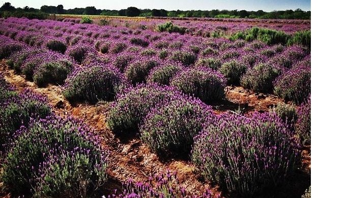 Where to Find Lavender Farms in the Texas Hill Country