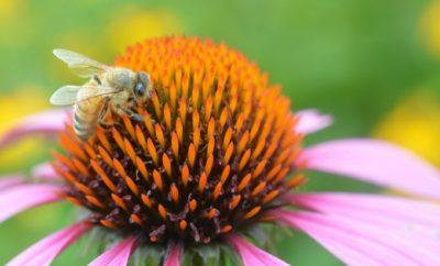 Pollinator Bioblitz