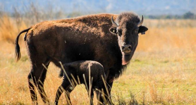 Bison Fest