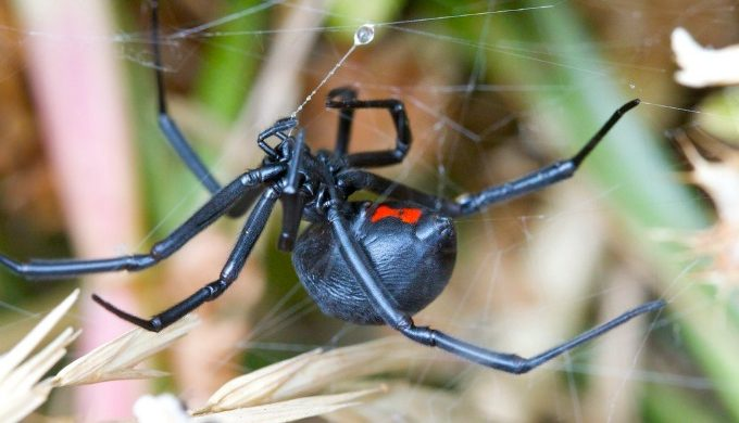 Venomous Texas Spiders: Which Two Species to Look Out For