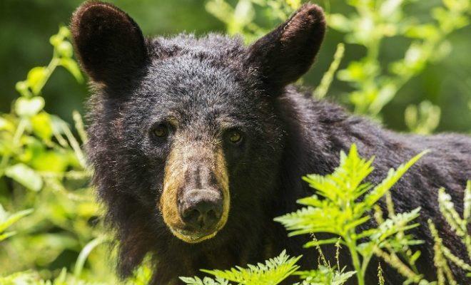 Black Bear bears