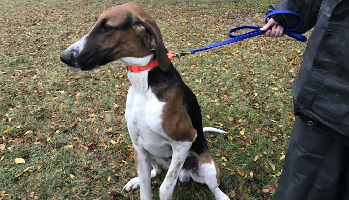 Bama, a Poitevan  bloodhound