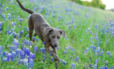 Do You Know What was Named the Official Dog Breed of Texas?