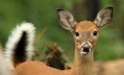 Blue Tongue deer