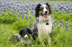 Bluebonnets in the Spring