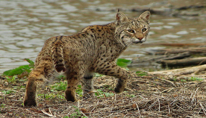 Wild Cats Of The Texas Hill Country