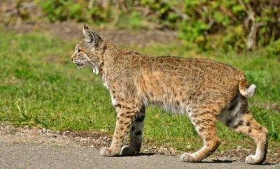 Bobcats in the DFW Are Simply Doing What They Do Best – Surviving