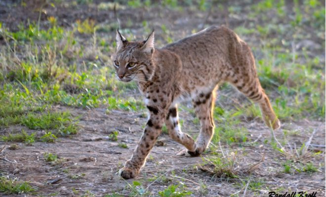 Texas Hill Country Wild Cats To Watch Out For And Protect Your Pets From